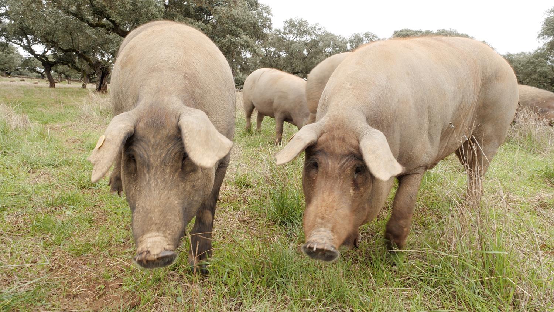 EBS 다큐프라임 - 돼지전 3부 돼지, 다시 날다